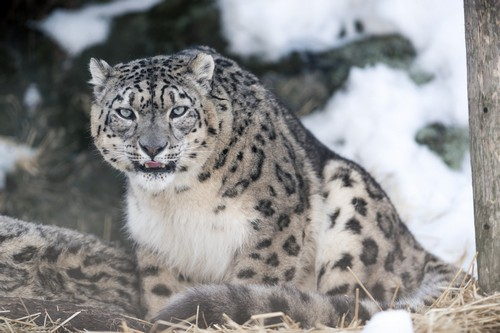 interesting_facts_about_snow_leopards6