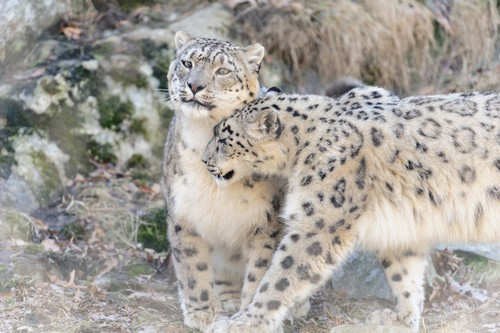 interesting_facts_about_snow_leopards7