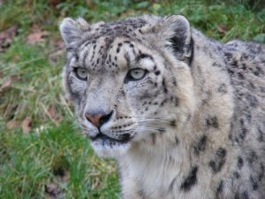 interesting_facts_about_snow_leopards8