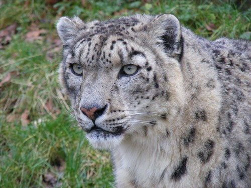 interesting_facts_about_snow_leopards8-ap