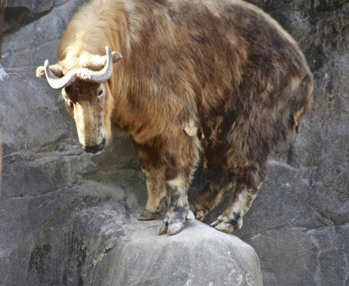 interesting_facts_about_takin6