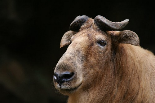 interesting_facts_about_takin8-ap
