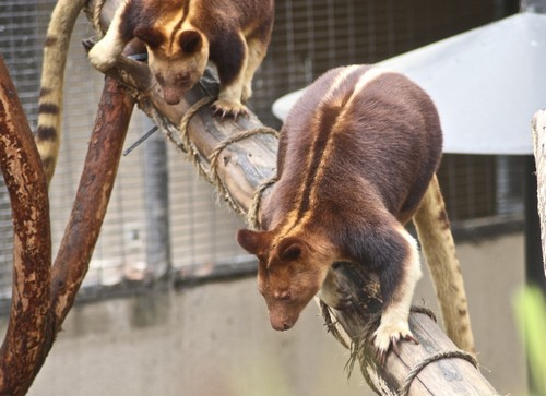 interesting_facts_about_tree_kangaroo1