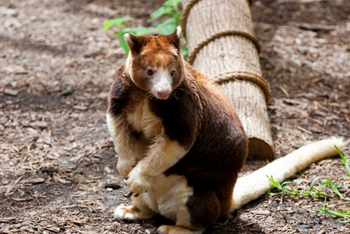 interesting_facts_about_tree_kangaroo2