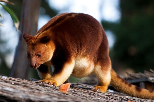 interesting_facts_about_tree_kangaroo3