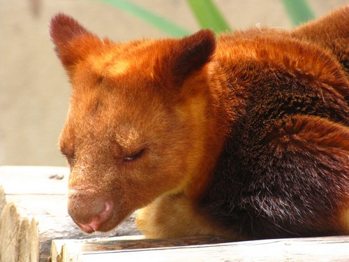 interesting_facts_about_tree_kangaroo4