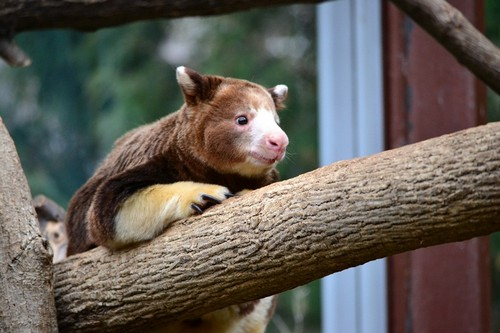 interesting_facts_about_tree_kangaroo5