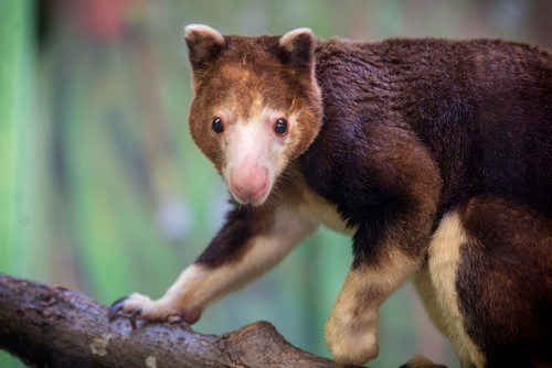 interesting_facts_about_tree_kangaroo6