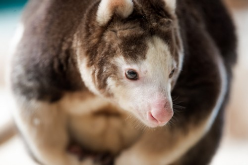 interesting_facts_about_tree_kangaroo7