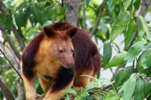 interesting_facts_about_tree_kangaroo8
