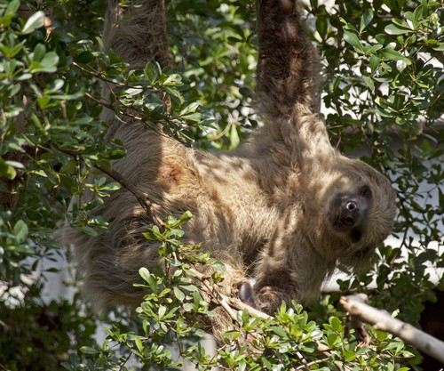 interesting_facts_about_two_toed_sloth1