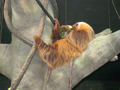 interesting_facts_about_two_toed_sloth2