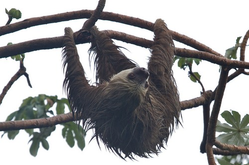 interesting_facts_about_two_toed_sloth3