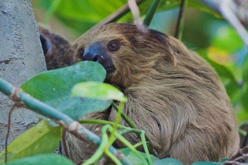interesting_facts_about_two_toed_sloth5