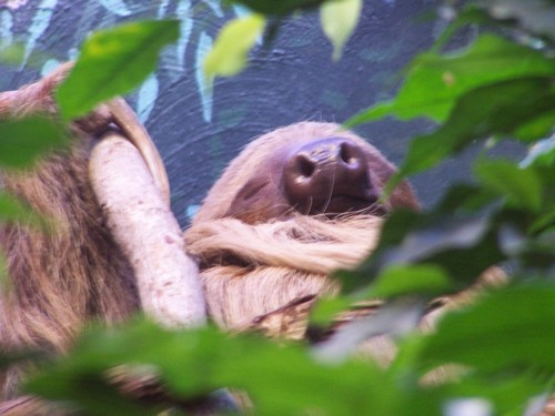 interesting_facts_about_two_toed_sloth7