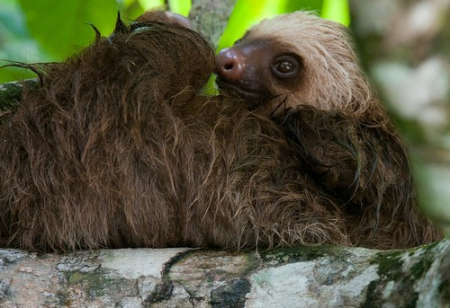 interesting_facts_about_two_toed_sloth8-ap