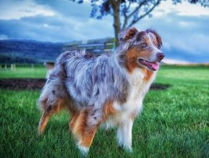 interesting_facts_about_australian_shepherd8