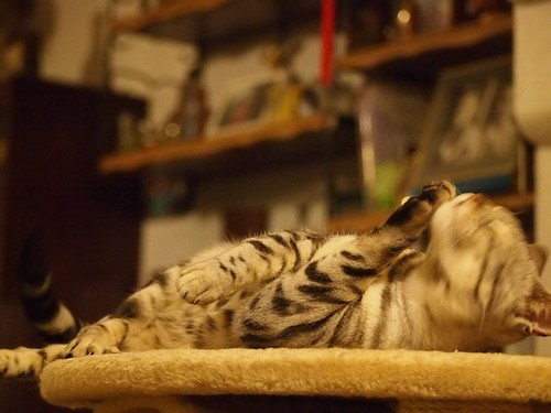 interesting_facts_about_bengal_cats1