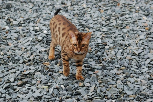 interesting_facts_about_bengal_cats3