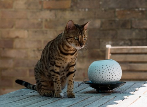 interesting_facts_about_bengal_cats5