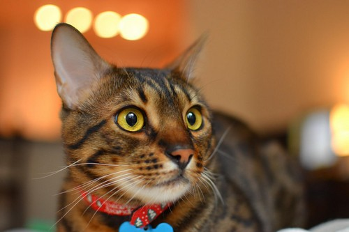 interesting_facts_about_bengal_cats6