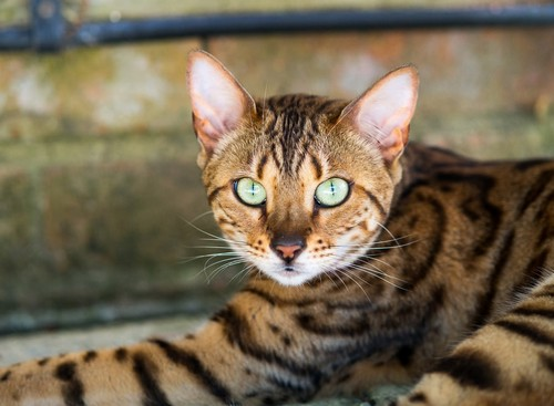 interesting_facts_about_bengal_cats7