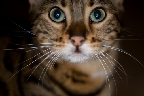 interesting_facts_about_bengal_cats8-ap