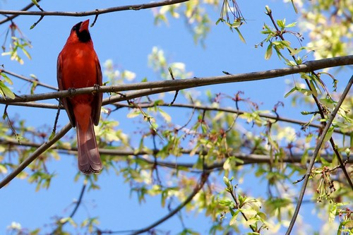 interesting_facts_about_cardinal_birds1