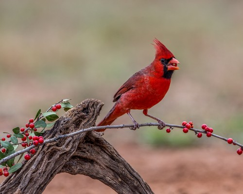 interesting_facts_about_cardinal_birds3