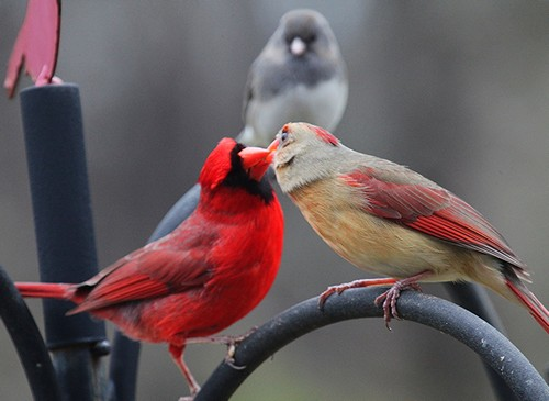 What does a red cardinal symbolize?