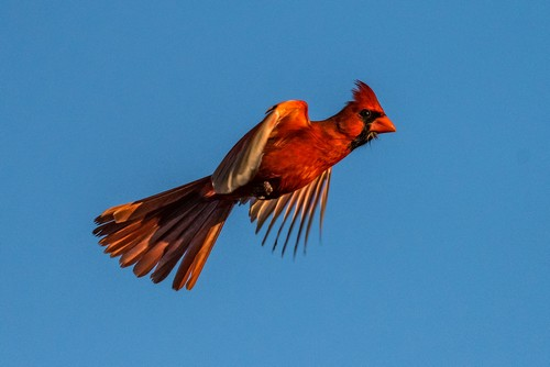 interesting_facts_about_cardinal_birds7