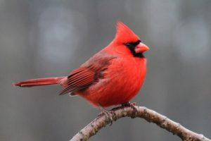 interesting_facts_about_cardinal_birds8