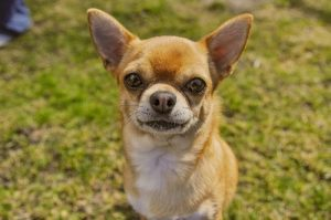 interesting_facts_about_chihuahua8