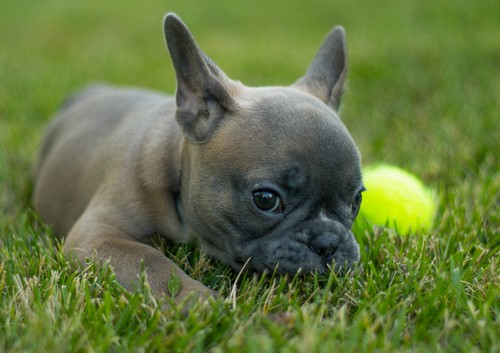 interesting_facts_about_french_bulldogs2