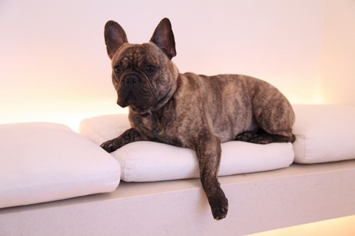 interesting_facts_about_french_bulldogs4