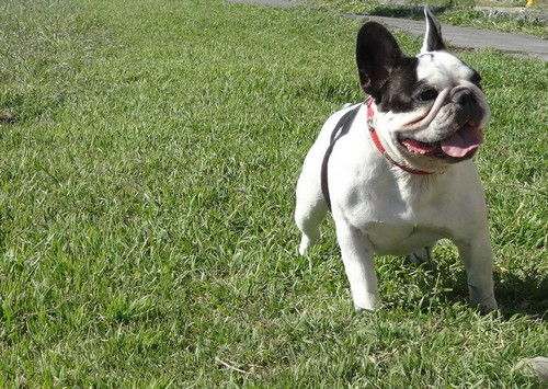 interesting_facts_about_french_bulldogs8-ap