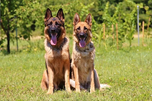 interesting_facts_about_german_shepherd2