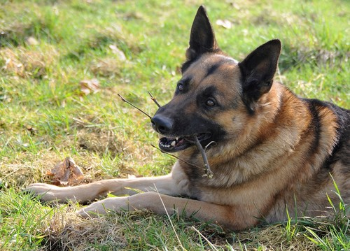 interesting_facts_about_german_shepherd4