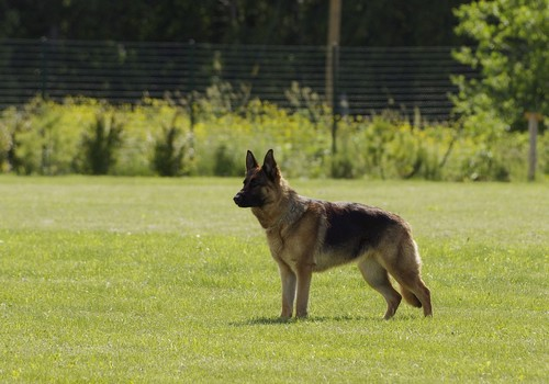 interesting_facts_about_german_shepherd6
