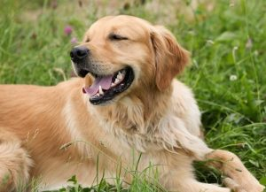 interesting_facts_about_golden_retriever8