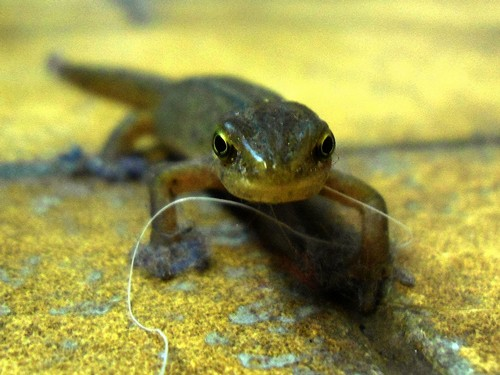 interesting_facts_about_newt_vs_salamander3
