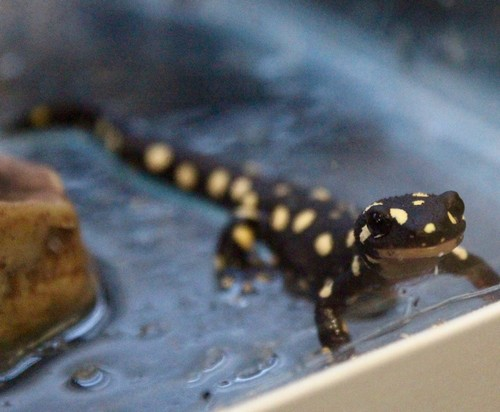 interesting_facts_about_newt_vs_salamander5