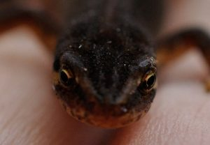 interesting_facts_about_newt_vs_salamander8