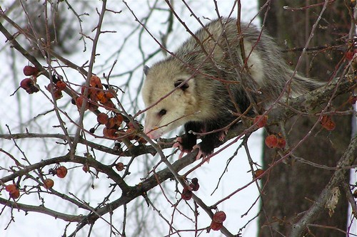 interesting_facts_about_opossum1