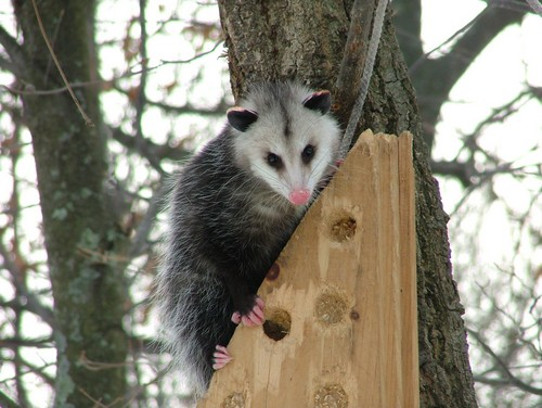 interesting_facts_about_opossum3