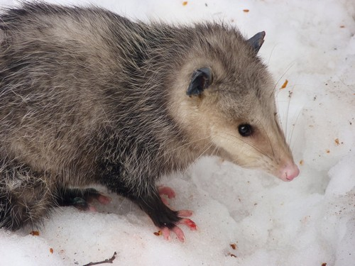interesting_facts_about_opossum4