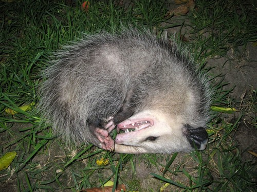 interesting_facts_about_opossum5
