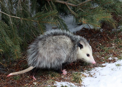 interesting_facts_about_opossum6
