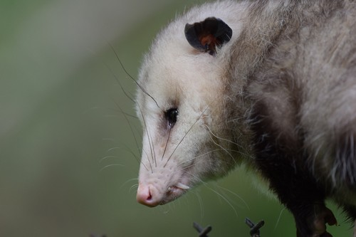interesting_facts_about_opossum7