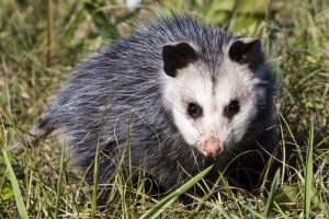 interesting_facts_about_opossum8
